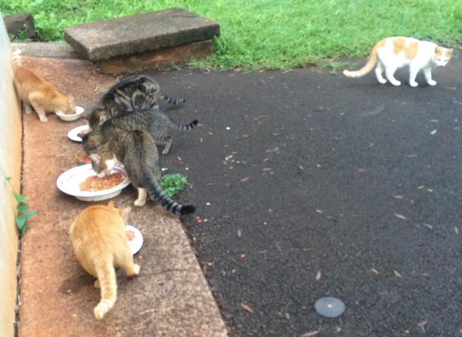 Stray cats enjoy a meal behind the Midkiff library.