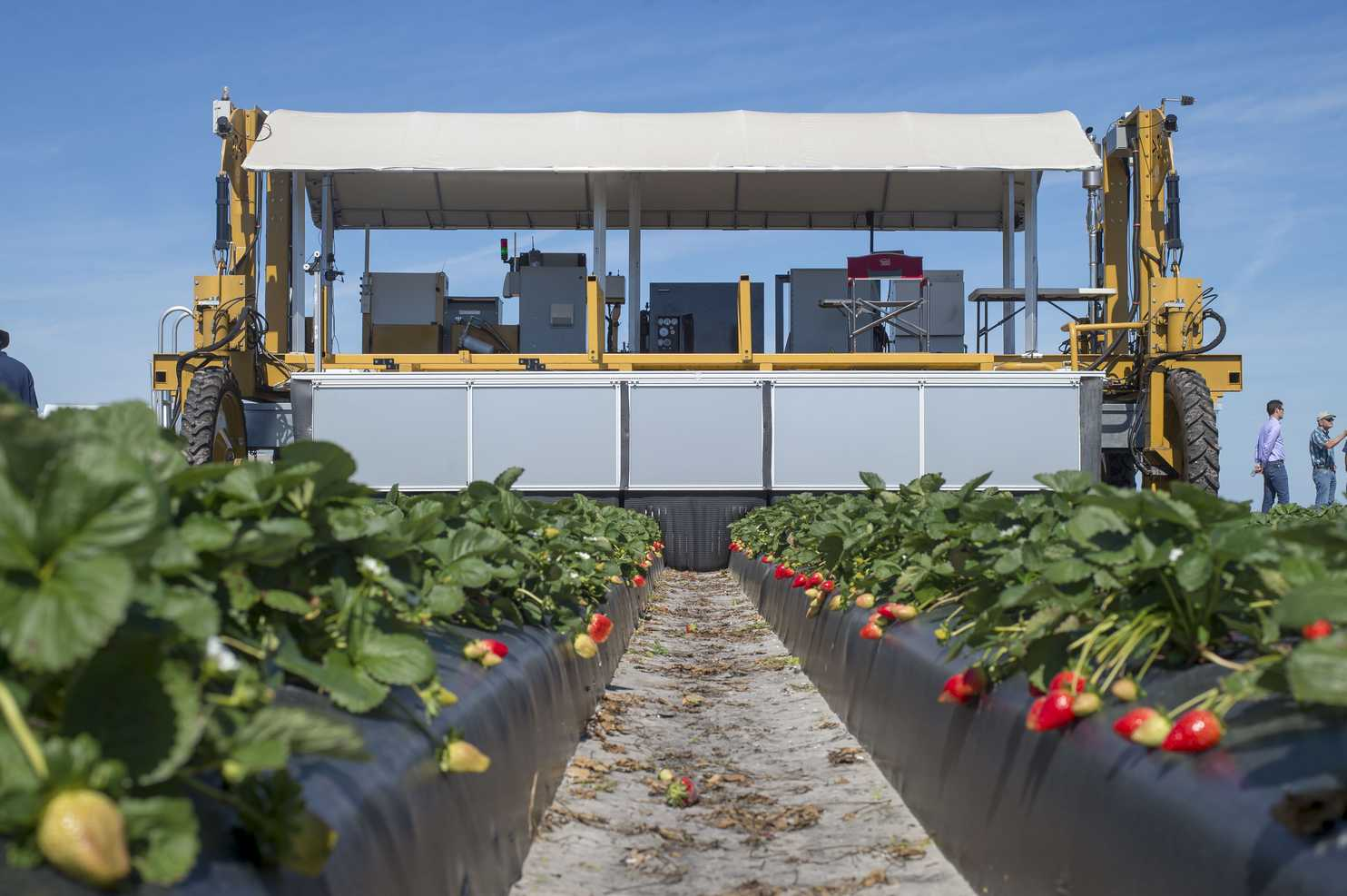 Robot aids farmers in picking strawberries.